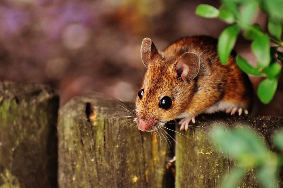Os cientistas testaram a memória dos camundongos de três formas. — Foto: Pixabay