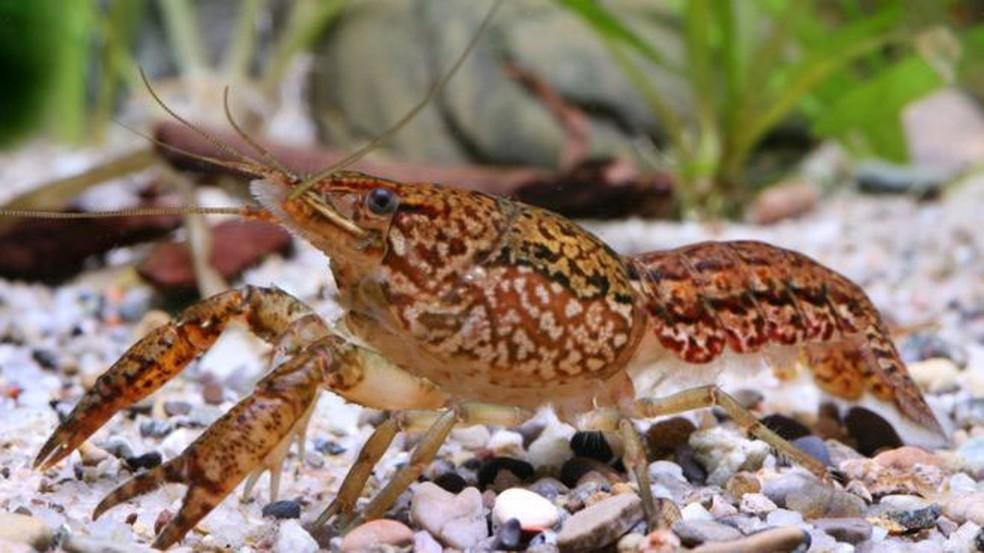 Uma única fêmea de aquário deu origem à nova espécie (Foto: Chris Lukhaup/DKFZ)