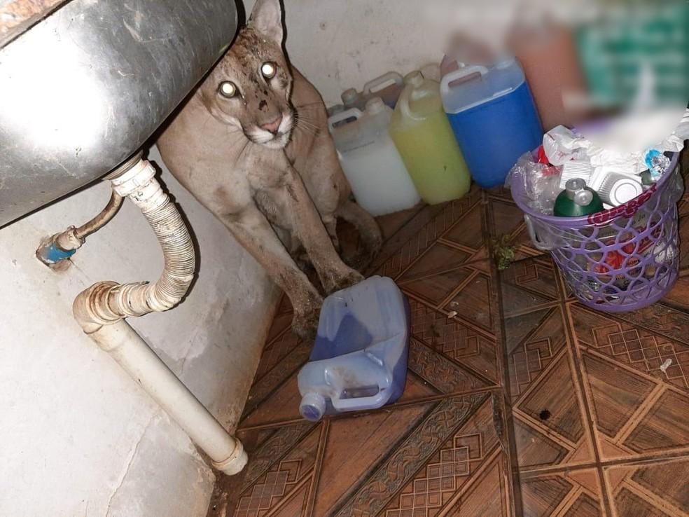 Onça-parda invade casa em Cáceres (MT). — Foto: PM-MT