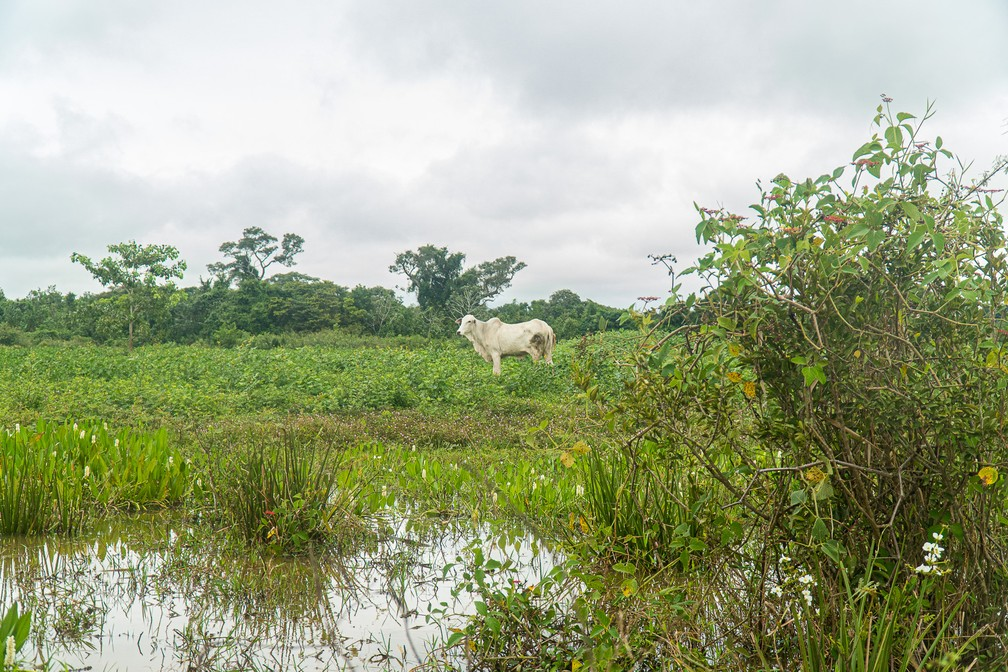 A pecuária é uma das principais atividades econômicas do Pantanal, e o gado, ao comer o pasto, ajuda a conter incêndios durante a seca — Foto: Eduardo Palacio/G1