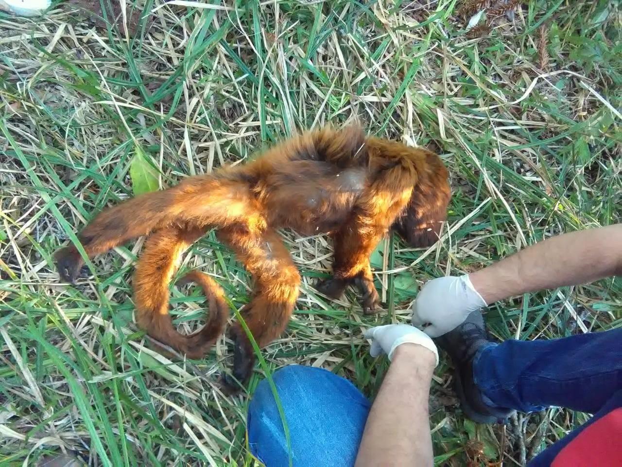 Três mortes de macacos por febre amarela são registradas no sudoeste do Paraná