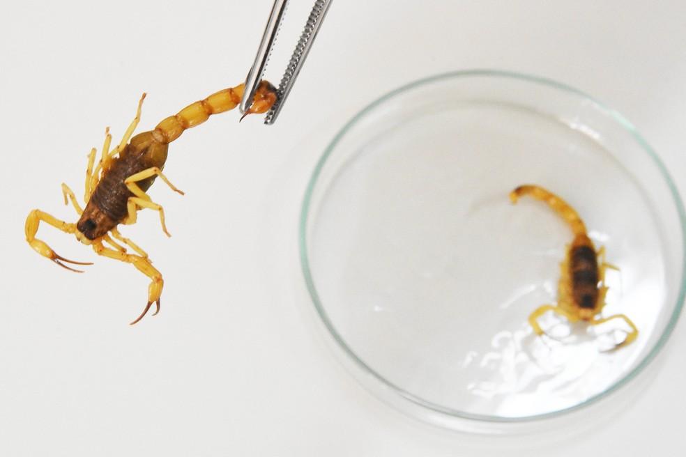 Escorpiões aparecem com maior frequência nesta época do ano. — Foto: Tony Winston/Agência Brasília