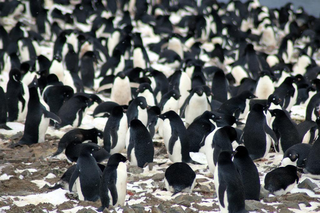 Pinguins-de-adélia nas Ilhas do Perigo (Foto: Louisiana State University/Michael Polito)