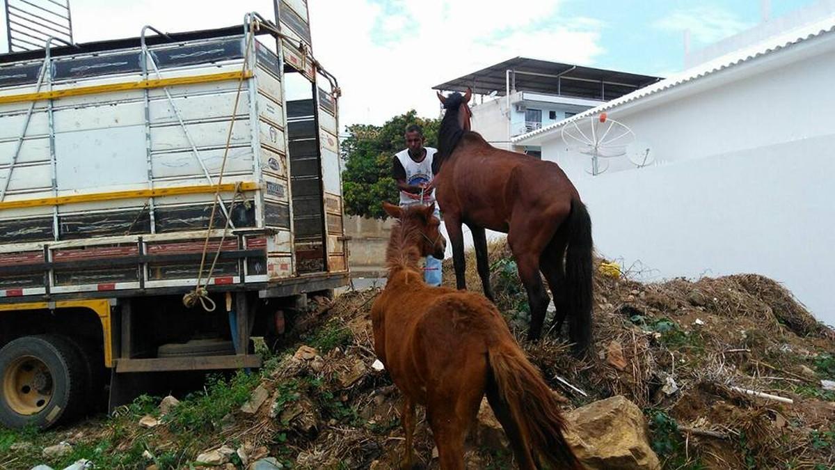 Vigilância Sanitária apreende oito cavalos soltos em vias públicas de Itaperuna, no RJ