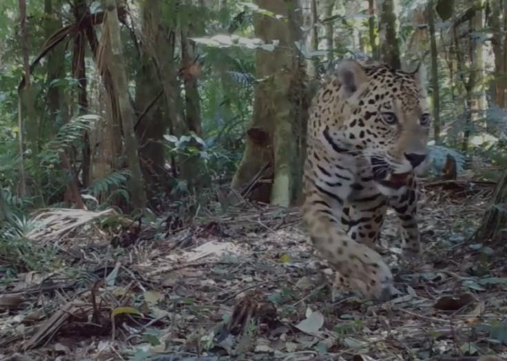 Onça é flagrada passeando e encontrando câmera de monitoramento no Parque Nacional do Iguaçu; VÍDEO