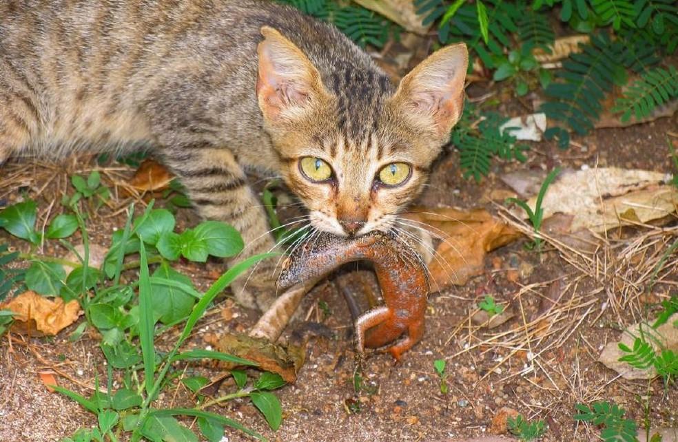 Gato devora Mabuia, espécie de lagarto endêmica de Fernando de Noronha — Foto: Clemente Coelho Jr/Acervo Pessoal