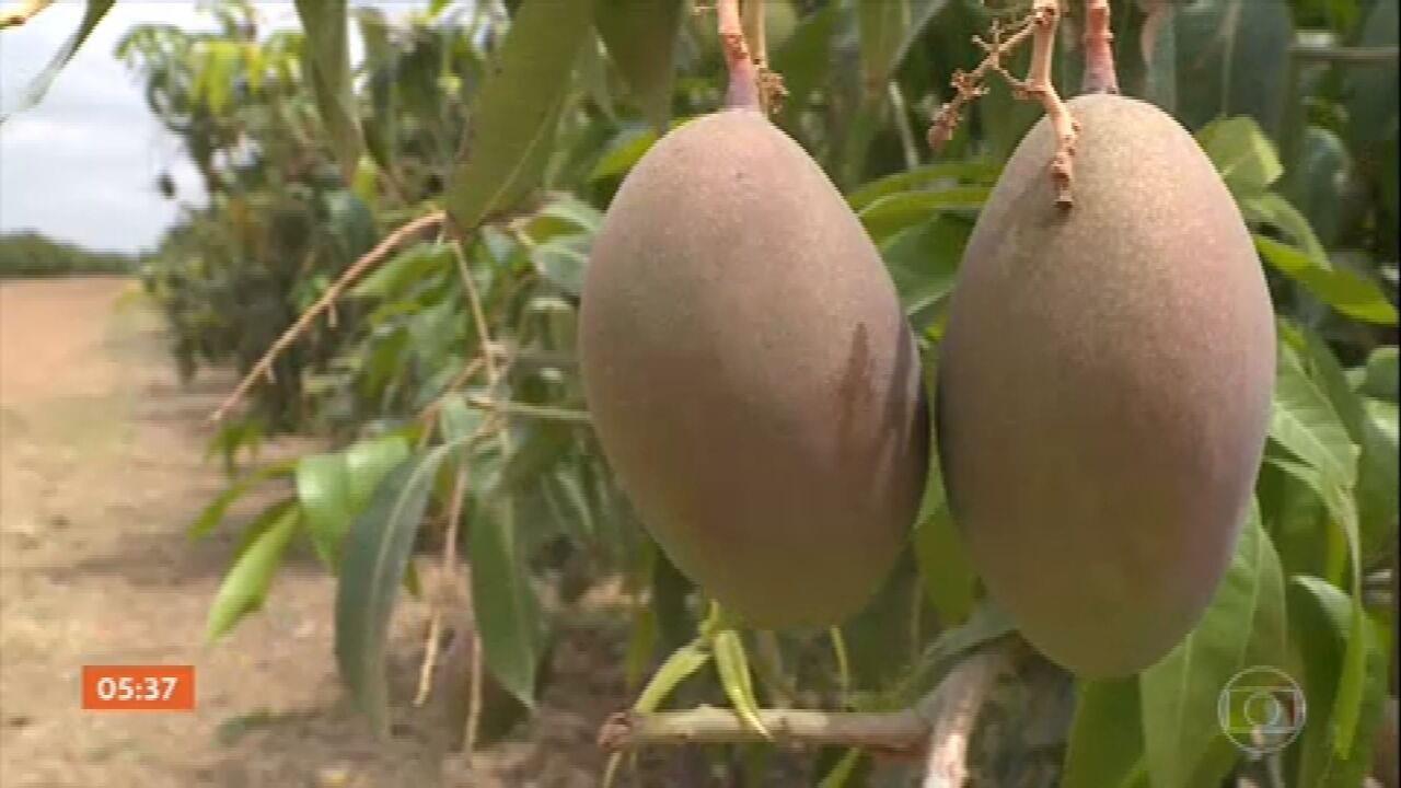 Agricultores que cultivam manga em PE colocam colmeias no meio das plantações