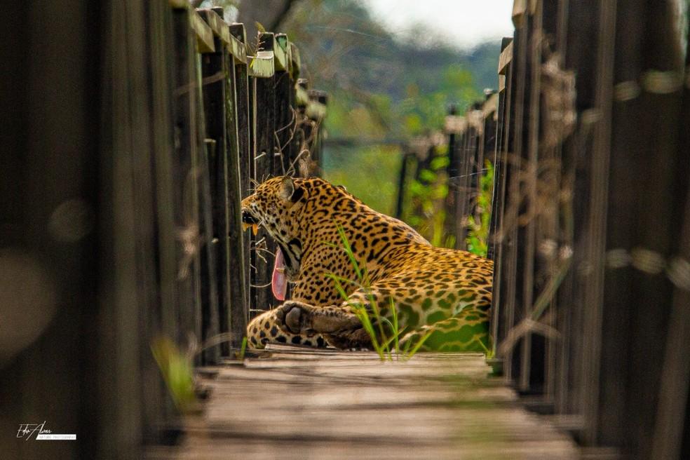 Onça-pintada é flagrada descansando durante vistoria em trilha de madeira, no Pantanal de MS. — Foto: Fazenda San Francisco/Edir Alves