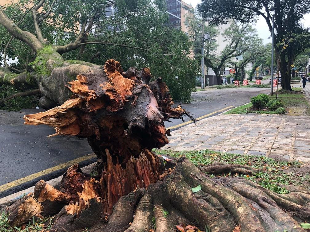 Árvore que caiu a Coronel Dulcídio, no Batel — Foto: Amanda Menezes/RPC