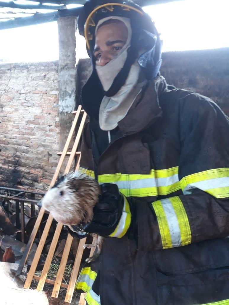 Bombeiros resgatam porquinhos da Índia e cabra em casa atingida por incêndio em Penedo, AL - Notícias - Plantão Diário