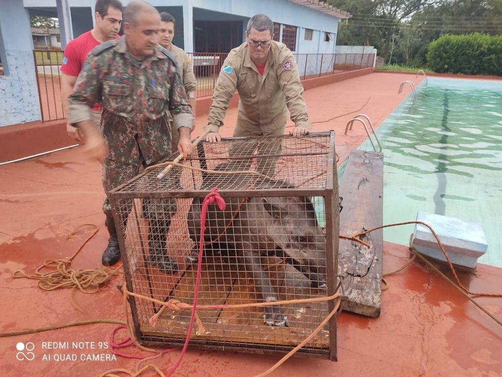 Anta com mais de 200 kg é resgatada após cair em piscina de clube no MS