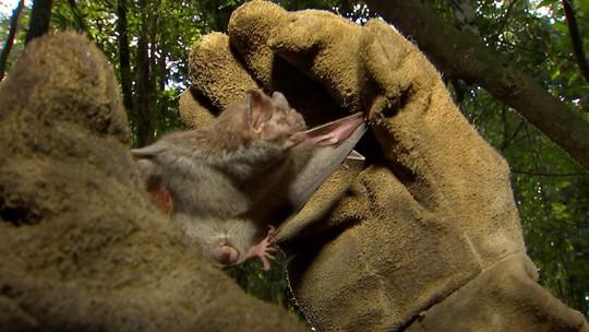 Defesa Agropecuária 'caça' morcegos que podem transmitir raiva em Angatuba