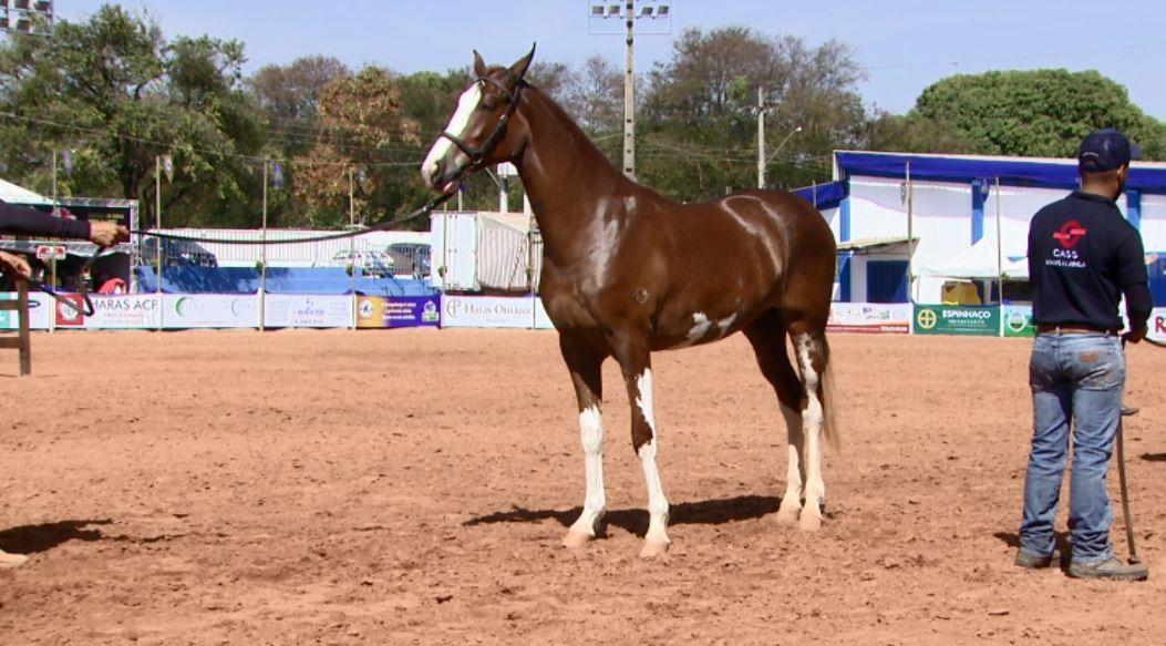 Expo Nacional de Mangalarga tem 130 expositores com cavalos de até R$ 1 milhão em São João  - Notícias - Plantão Diário
