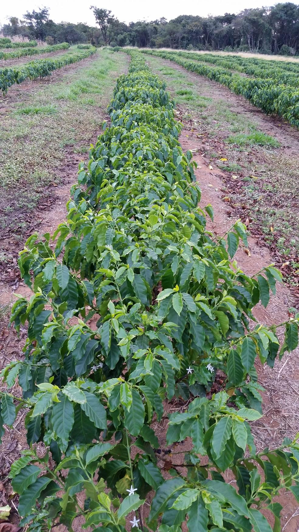 Adubo organomineral será testado em plantações de café arábica de Franca, SP (Foto: Marcelo Jordão Filho/Fundação Prócafé)