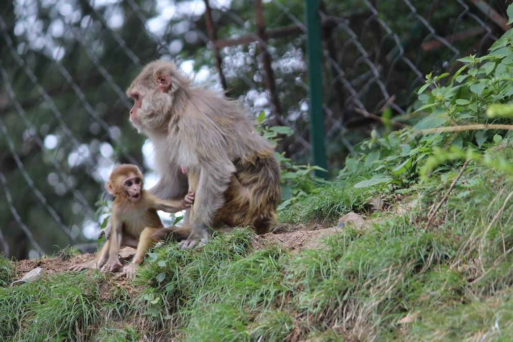 Vacina aplicada em macaco rhesus trouxe resultados favoráveis ao combate ao vírus do HIV — Foto: Creative Commons