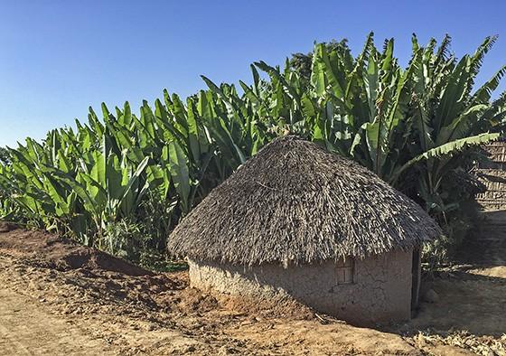 Um tukul, a cabana tradicional etíope, com uma plantação de ensete na estrada para Boricha, na Região das Nações e Nacionalidades dos Povos do Sul da Etiópia (Foto: Giselle Paulino/ÉPOCA)