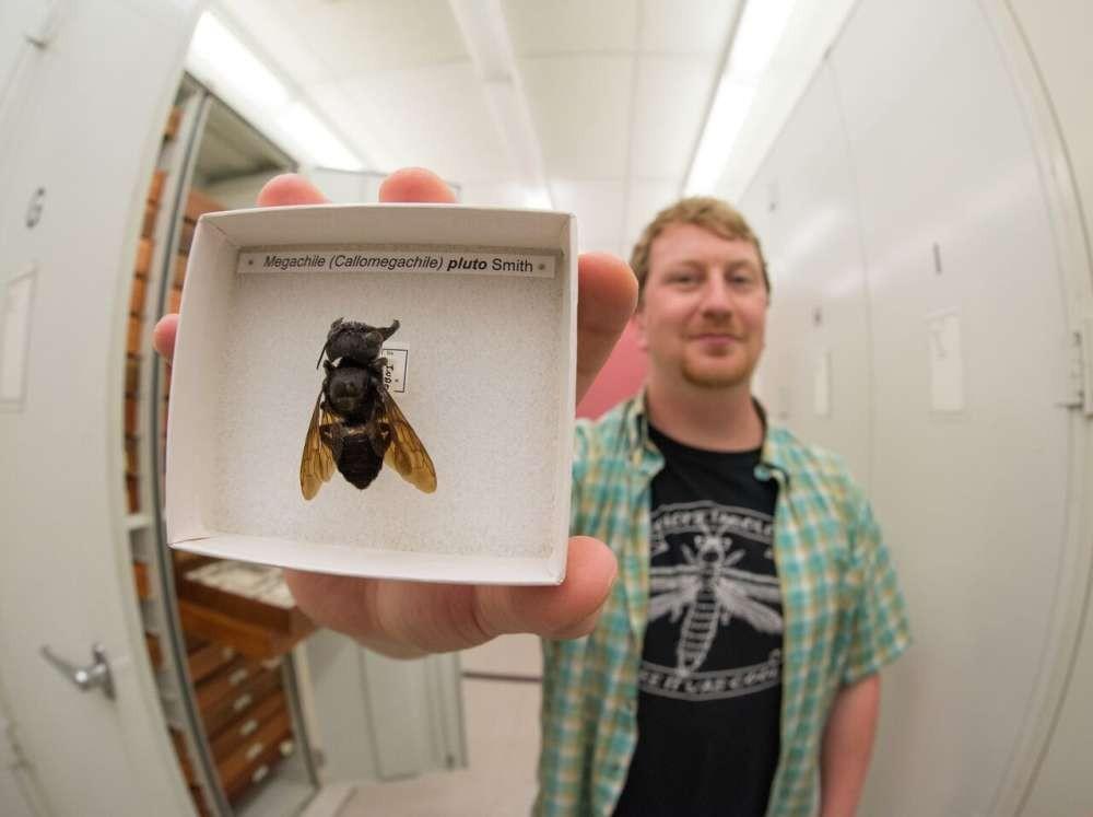 Pesquisador Eli Wyman com a única amostra existente da abelha gigante de Wallace  (Foto: Clay Bolt)