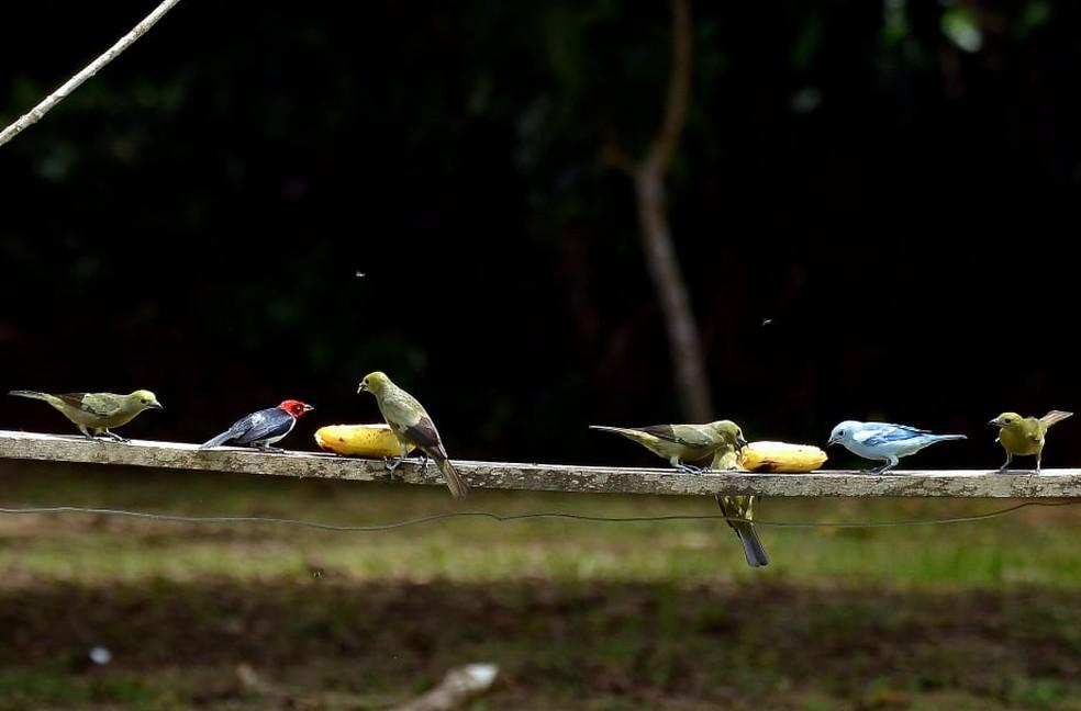 Aves visitam comedouros em Presidente Figueiredo (AM) — Foto: Vanilce Souza/Arquivo Pessoal