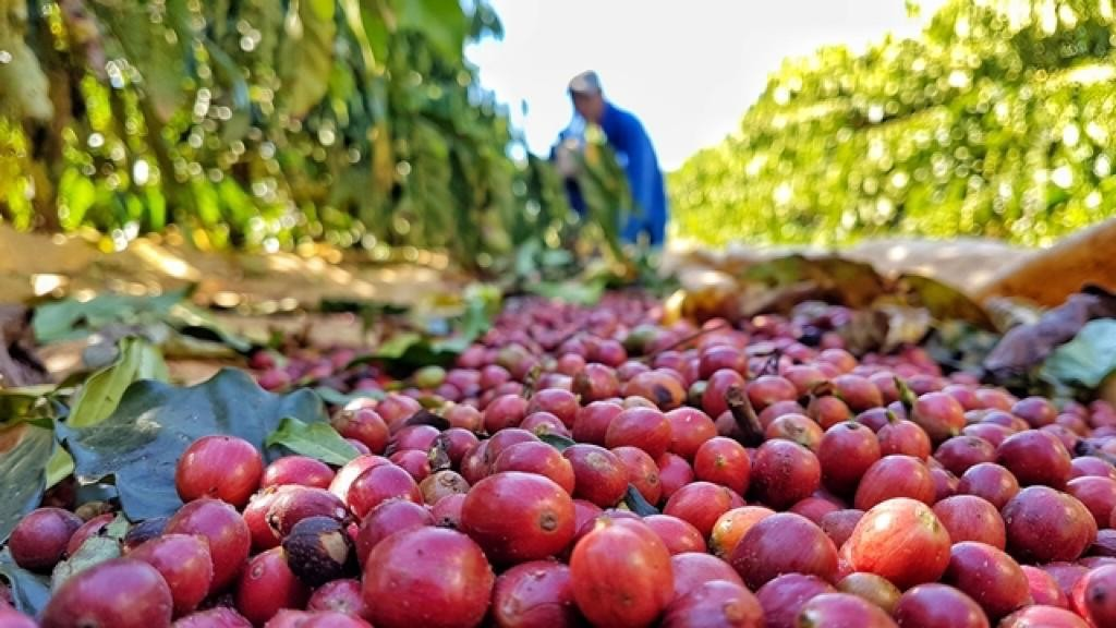 Com safra maior e bons preços, colheita de café canéfora ganha ritmo no Brasil
