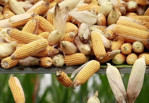 Colheitadeira descarrega milho em caminhão em plantação na província de Hebei, na China - milho - safra - agronegócio - agricultura (Foto: Kim Kyung-Hoon/Reuters)
