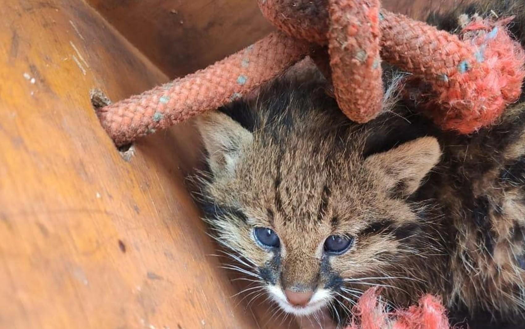 Filhote de gato-do-mato é resgatado em mata atingida por fogo, em Santa Helena de Goiás