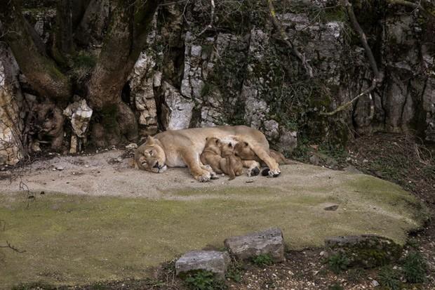 Leoa Shiva amamenta seus três filhotes (Fot AP Photo/Laurent Cipriani )