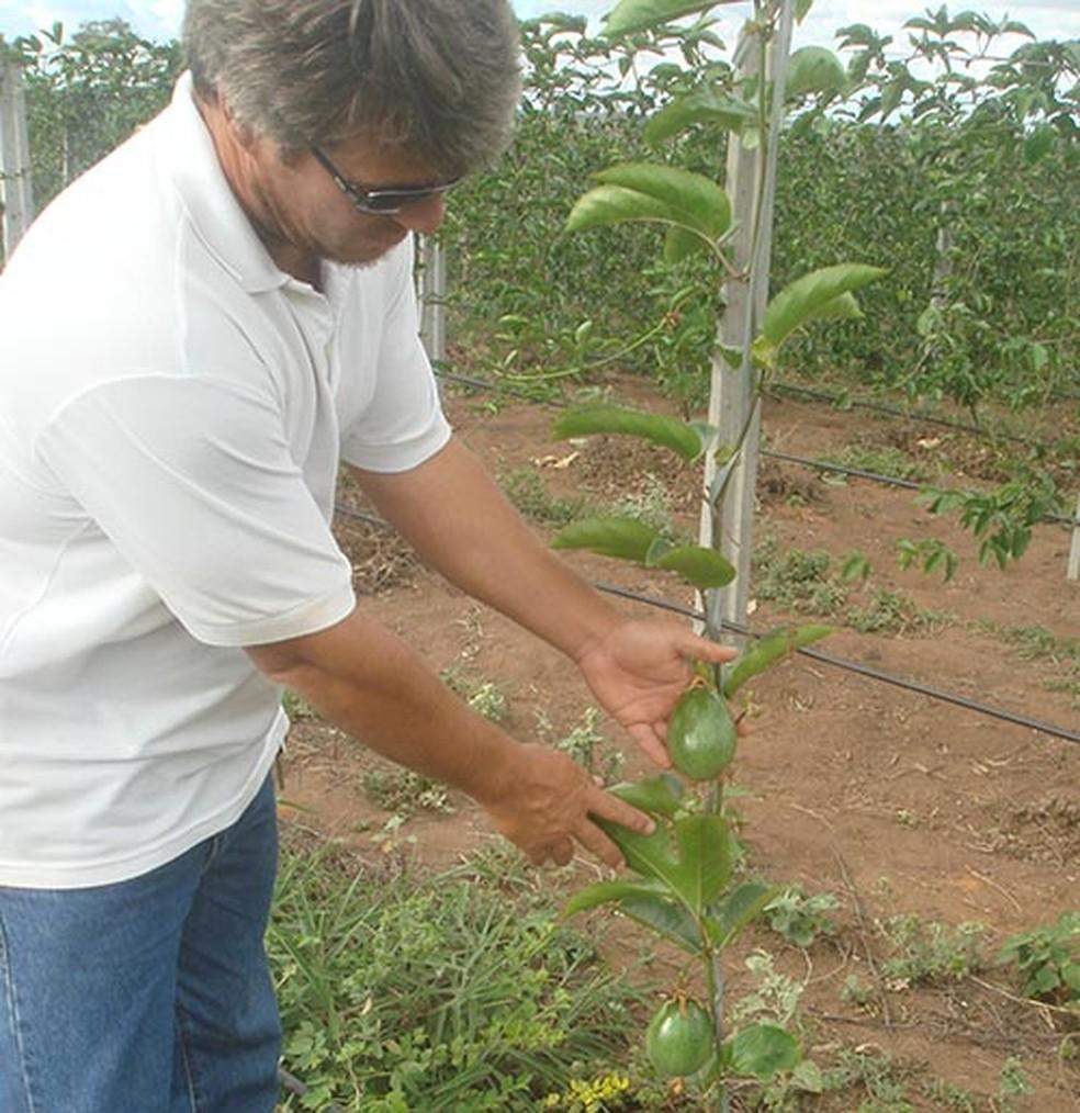Pesquisadores desenvolvem primeiro sistema orgânico de maracujá do país na BA — Foto: Tullio Padua