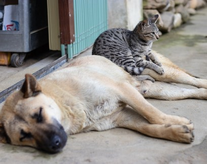 Em raras infecções por Sars-CoV-2, maioria dos pets permanece assintomática