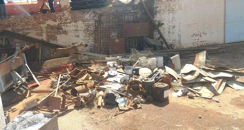 Onça-parda é encontrada em Jaboticabal, SP — Foto: Divulgação/Polícia Ambiental