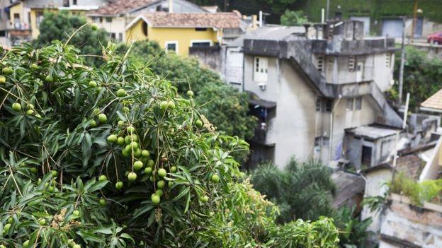 Sim, ela também é nossa! Uma mangueira no Rio de Janeiro (Foto: GETTY IMAGES via BBC)
