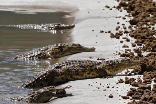 Crocodilos em rio no Zimbábue (imagem meramente ilustrativa)