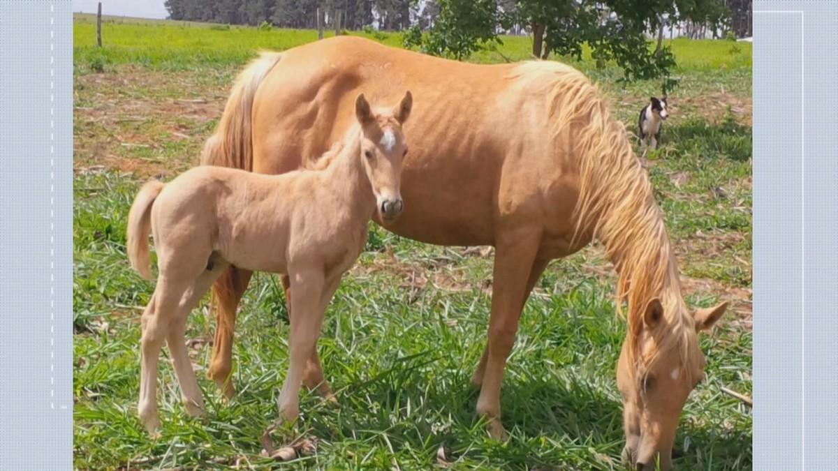 Três cavalos de raça são roubados em fazenda de Sobradinho, no DF - G1