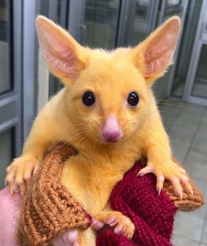 Filhote de marsupial encontrado na Austrália (Foto: Divulgação/ Boronia Veterinary Clinic and Animal Hospital)