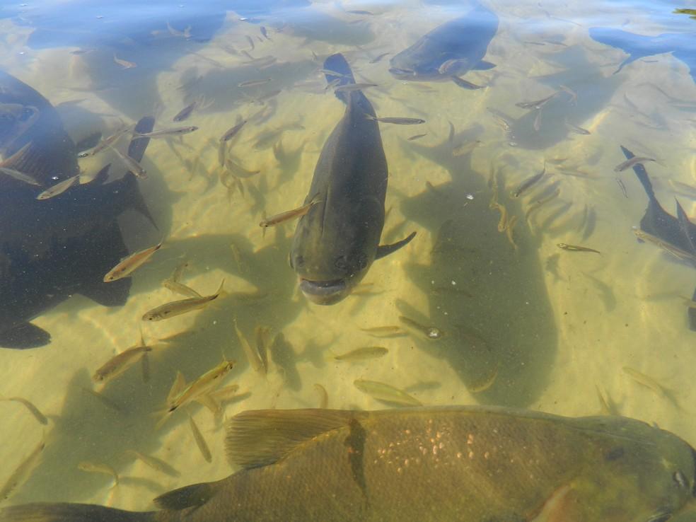 Peixe de água doce, tambaqui pode alcançar 90 cm de comprimento — Foto: Eduardo Lacerda
