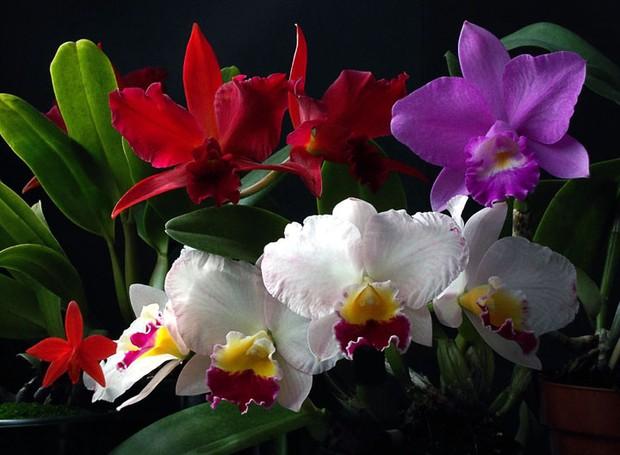 Orquídeas - por que cultivamos? (Foto: Sergio Oyama Junior/Divulgação)