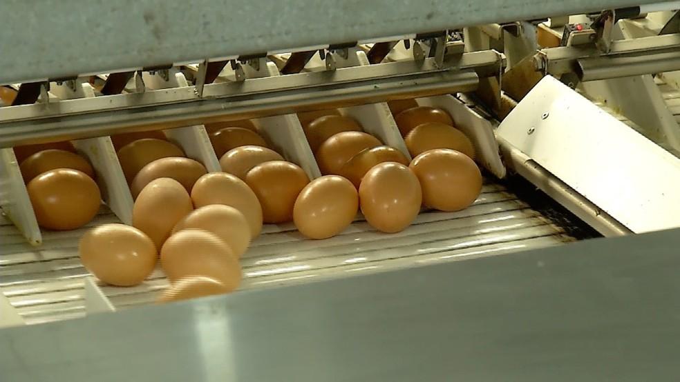 Tendência de mercado consumidor muda forma de crianção de galinhas no RN para melhorar qualidade dos ovos (Foto: Valnei Júnior/Inter TV Cabugi)
