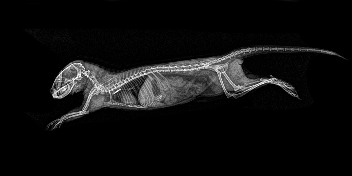 Mangusto-anão (Foto: Oregon Zoo/Reprodução)