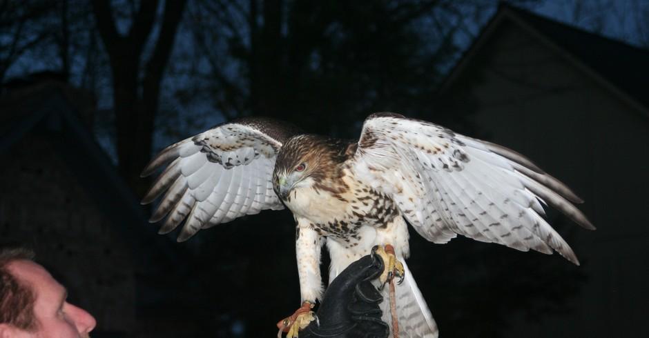 Falcoaria (Foto: Tom Britt/ Flickr)