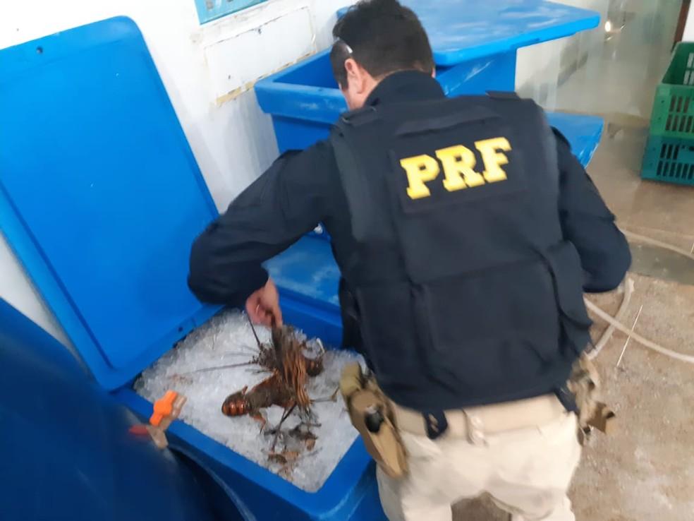 Operação do Ibama e da PRF encontrou lagostas comercializadas de forma ilegal no RN — Foto: PRF/Divulgação