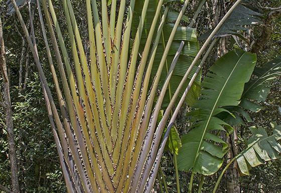 Detalhe dos ramos de uma ravenala na floresta de Andasibe (Foto:  © Haroldo Castro/ÉPOCA)