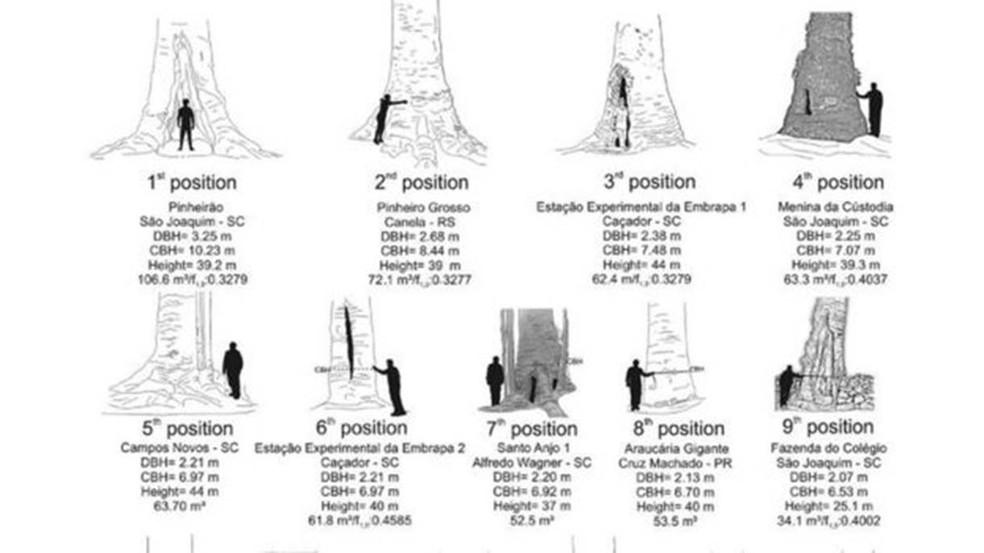 Mapeamento de araucárias gigantes feito no Sul do país — Foto: Reprodução