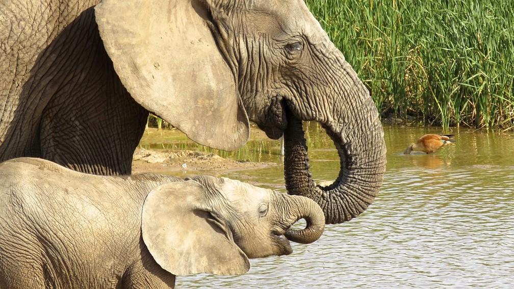 Elefantes africanos — Foto: Pixabay