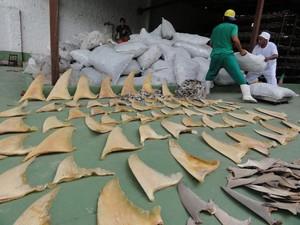 Ibama apreende 7,7 toneladas de barbatanas de tubarão em Belém, PA (Fot Divulgação/Ibama)