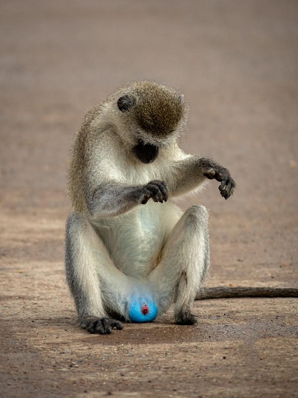 'Só dando uma checadinha': a foto do macaco com testículos azuis foi feita no Parque Nacional de Luangwa Sul, na Zâmbia, sul da África.  — Foto: © Larry Petterborg /Comedywildlifephoto.com