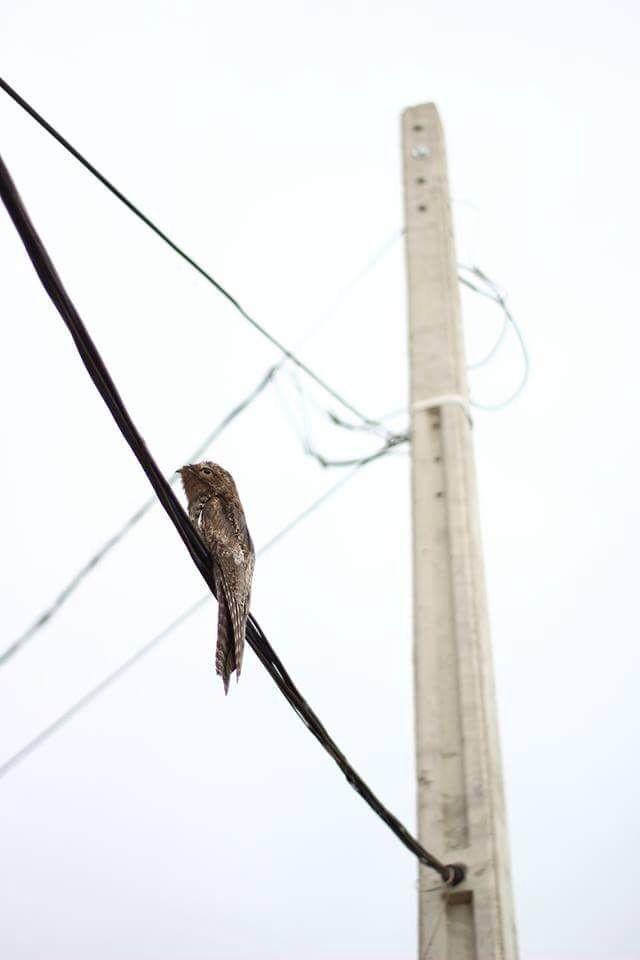 Internautas registram urutaus em locais inusitados; entenda aparição da ave no Sul e Sudeste