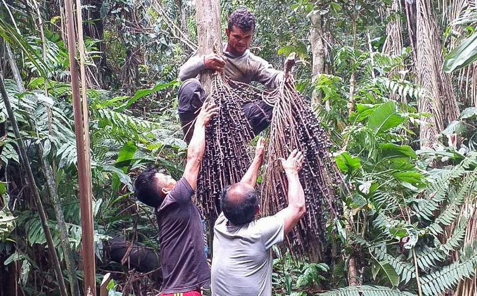 Palmeiras serão usadas, no futuro, para cobrir as casas das aldeias  — Foto: Arquivo/Associação Apiwtxa