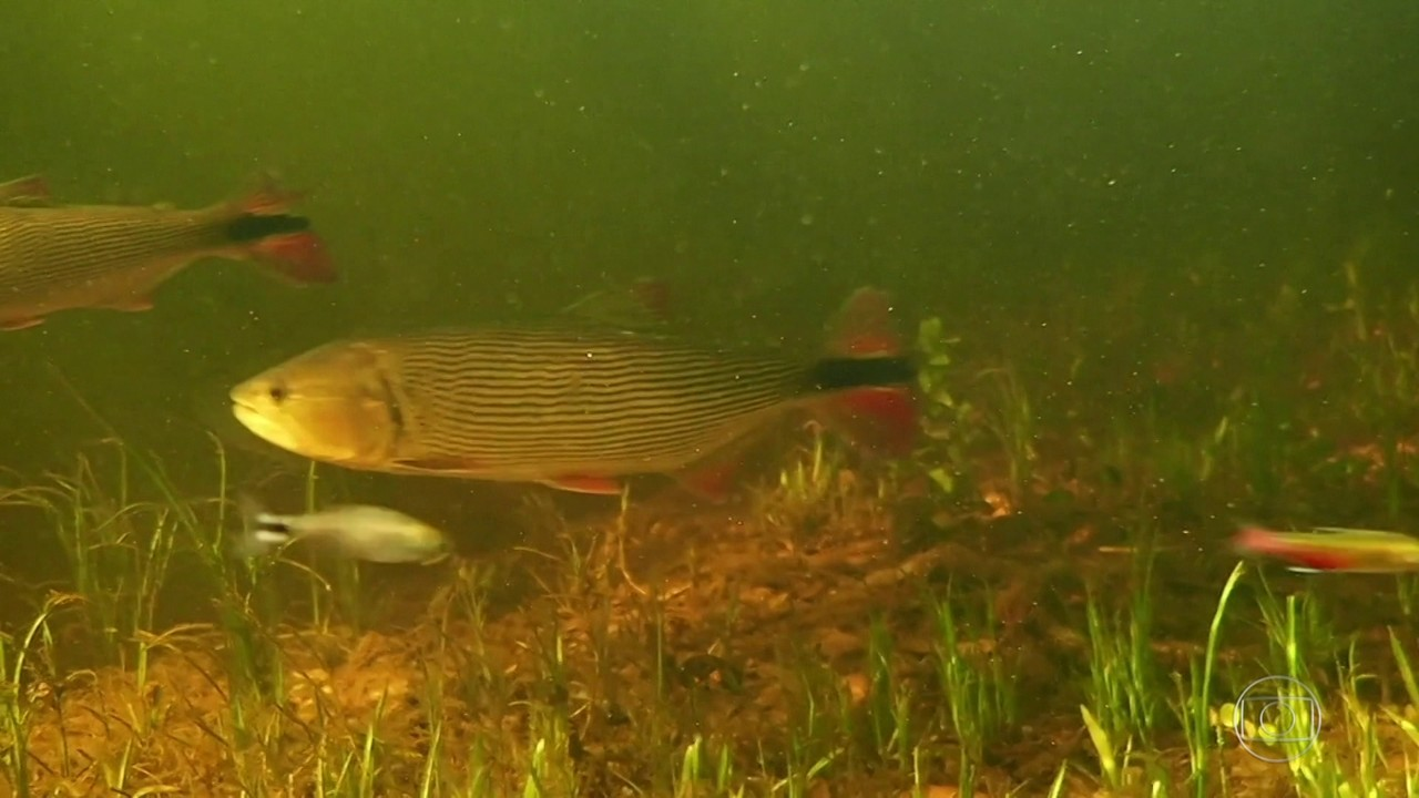 Incêndios podem prejudicar período de reprodução dos peixes nos rios do Pantanal