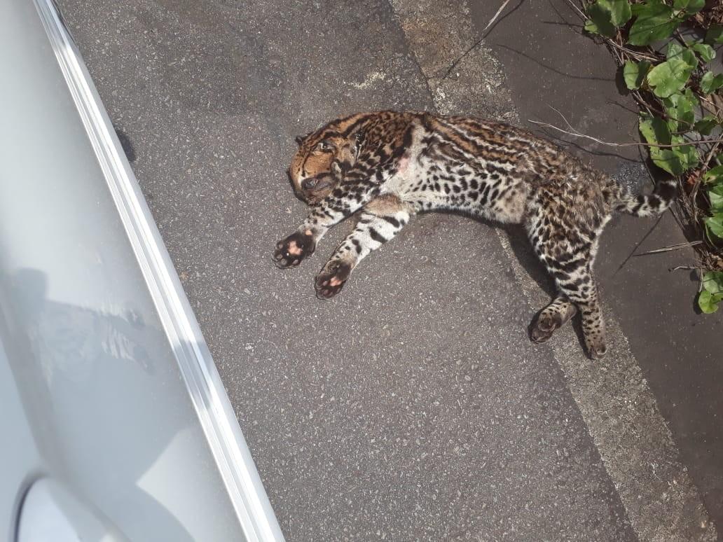 Moradora flagra jaguatirica morta na BR-174 no Sul de Roraima - Notícias - Plantão Diário