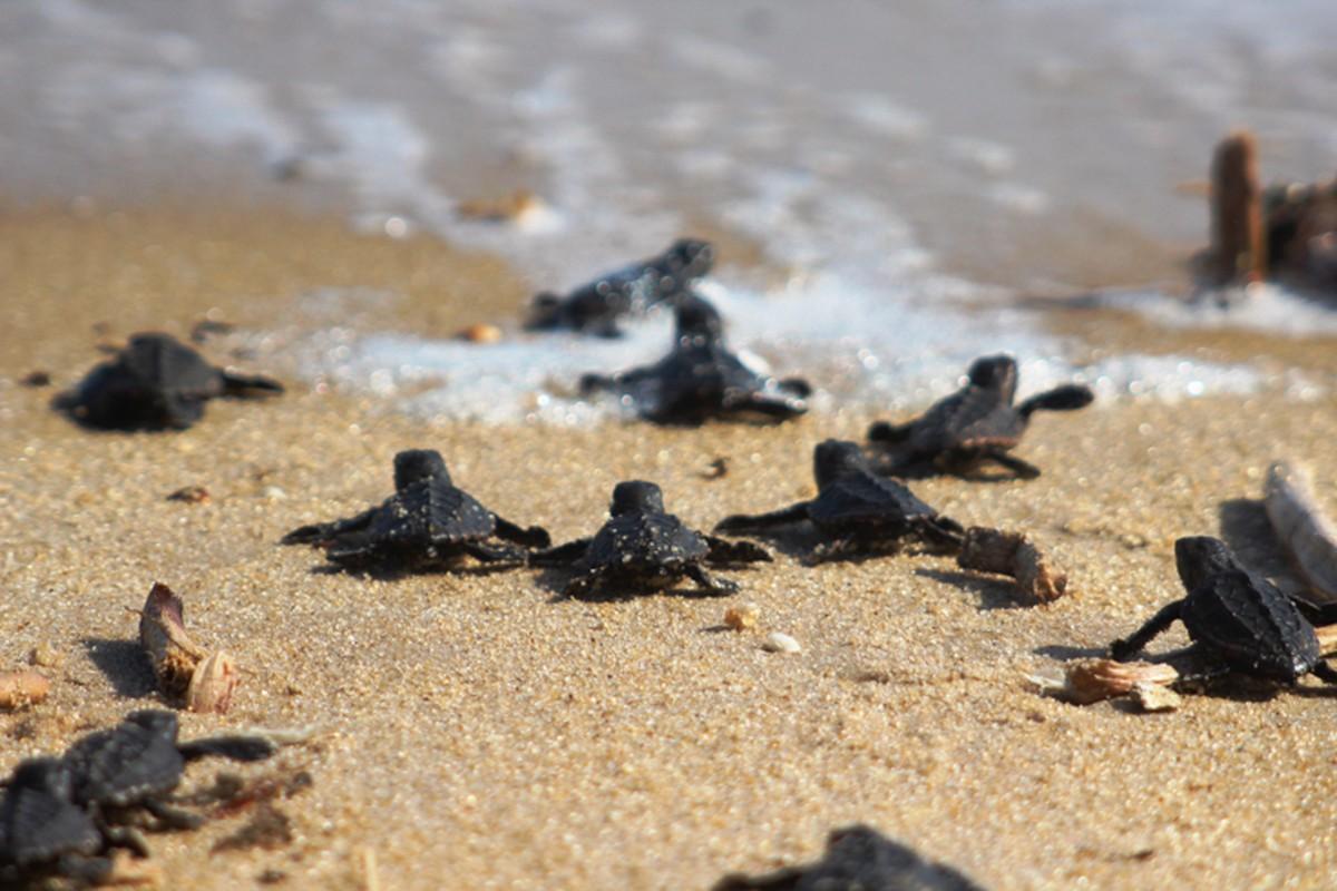 Praia do Farol, em Campos, RJ, terá soltura de tartarugas marinhas neste sábado