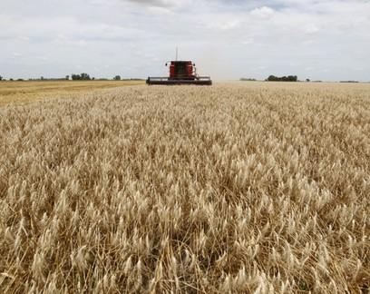 Rio Grande do Sul colhe o trigo em cenário de bons preços